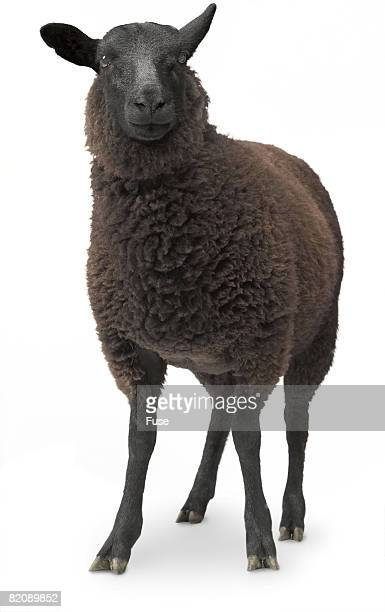 black sheep - one animal stock photos and pictures