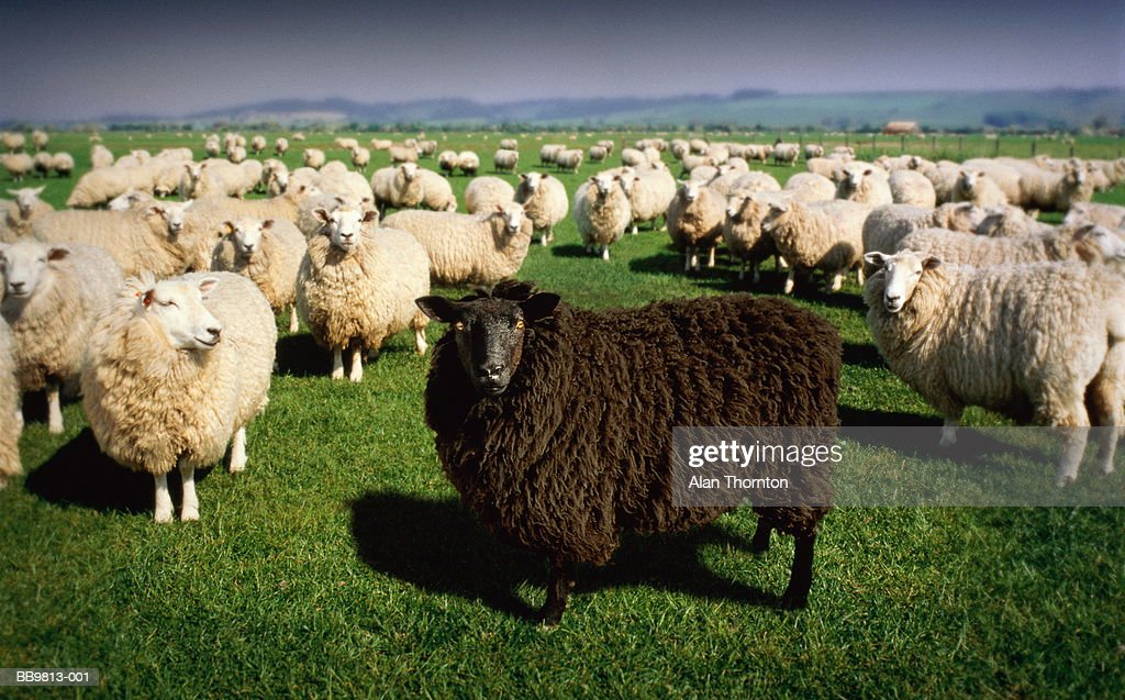 Black sheep standing amongst flock of white sheep (Digital Composite) : Stock Photo