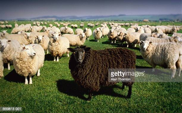 black sheep standing amongst flock of white sheep (digital composite) - individuality stock pictures, royalty-free photos & images