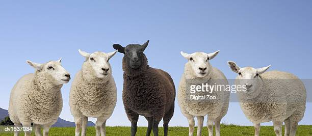 Black Sheep Standing Between Four White Sheep