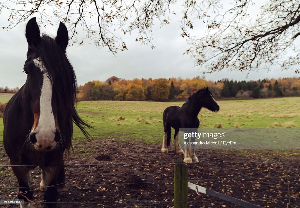Black Shire Horses Standing On Field In Ranch : Stock Photo