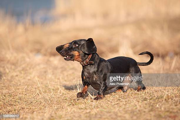 black short haired badger dog on the dry grass - dog cruelty stock pictures, royalty-free photos & images