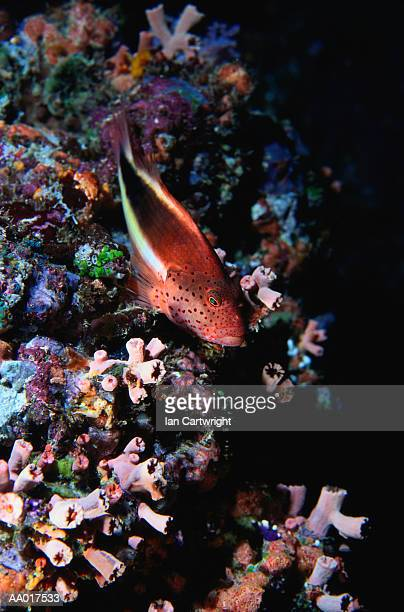 black sided hawkfish - hawkfish stock pictures, royalty-free photos & images