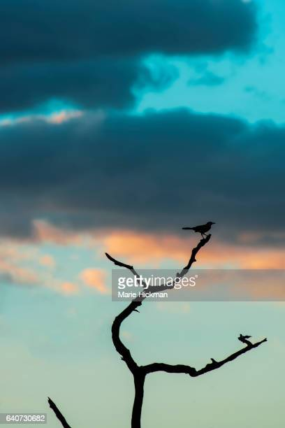 black silhouette of a bird on the top branch with sunset clouds on blue sky in background in green cay park, boynton beach,florida. - pinnacle peak stock-fotos und bilder