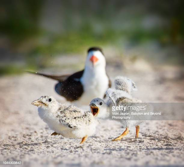 black skimmer chicks arguing on the beach at nickerson, long island - zeevogel stockfoto's en -beelden