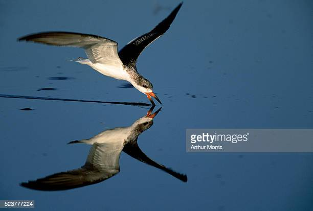 black skimmer - cape may stock pictures, royalty-free photos & images