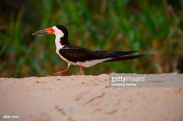 Black skimmer walking on a sandbank of the Cuiaba River near Porto Jofre in the northern Pantanal, Mato Grosso province in Brazil.