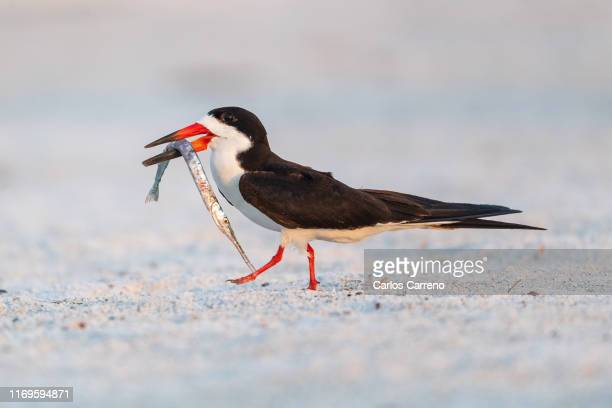 black skimmer with large needlefish - aguja imperial fotografías e imágenes de stock