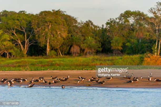 Black skimmers on a sandbank of the Cuiaba River near Porto Jofre in the northern Pantanal, Mato Grosso province in Brazil.