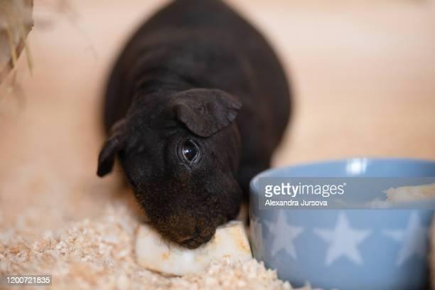 black skinny guinea pig - tierkörper stock-fotos und bilder