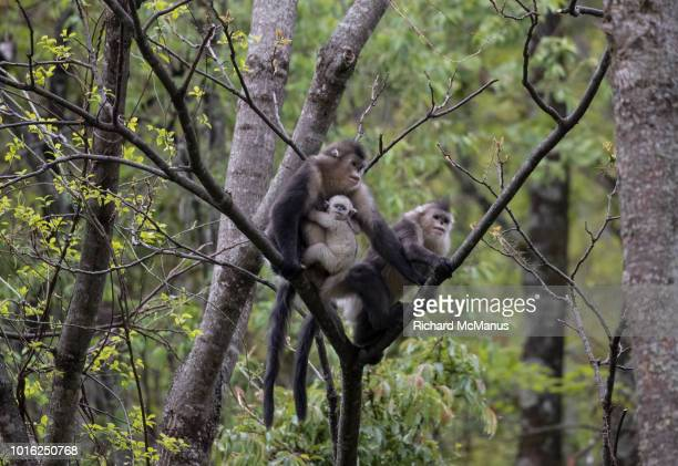 black snub nosed monkey - yunnan snub nosed monkey stock pictures, royalty-free photos & images