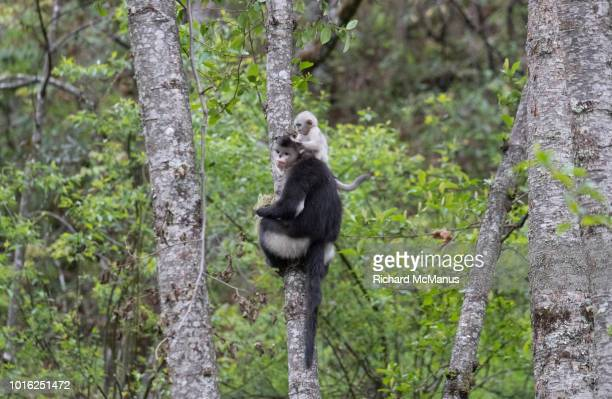 black snub nosed monkeys - yunnan snub nosed monkey stock pictures, royalty-free photos & images