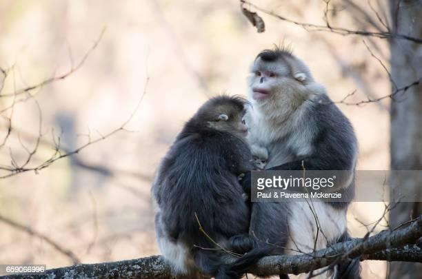 black snub-nosed monkey (yunnan snub-nosed monkey) family ,(rhinopithecus bite), huddled together on tree branch - yunnan snub nosed monkey stock pictures, royalty-free photos & images