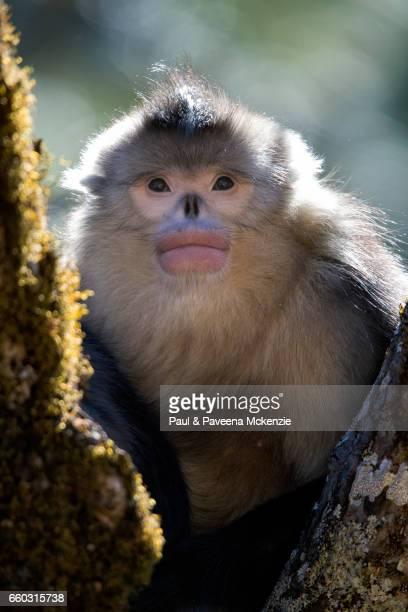 black snub-nosed monkey (yunnan snub-nosed monkey) family ,(rhinopithecus bite), in tree fork - yunnan snub nosed monkey stock pictures, royalty-free photos & images