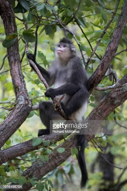black snub-nosed monkey in tree. - yunnan snub nosed monkey stock pictures, royalty-free photos & images
