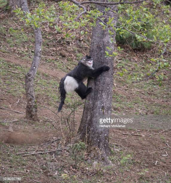 black snub-nosed monkey on tree. - yunnan snub nosed monkey stock pictures, royalty-free photos & images