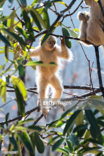 black snub-nosed monkey - yunnan snub nosed monkey stock pictures, royalty-free photos & images