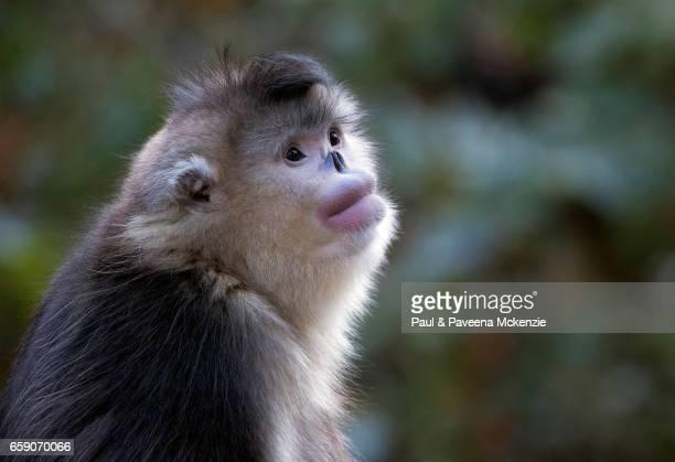 black snub-nosed monkey (yunnan snub-nosed monkey),(rhinopithecus bite) portrait - yunnan snub nosed monkey stock pictures, royalty-free photos & images
