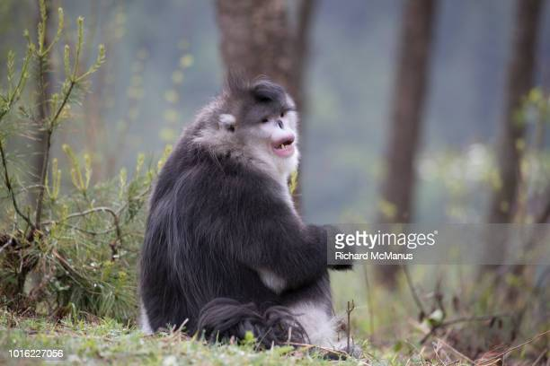 black snub-nosed monkey sitting. - yunnan snub nosed monkey stock pictures, royalty-free photos & images
