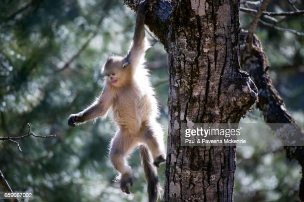 black snub-nosed monkey (yunnan snub-nosed monkey),(rhinopithecus bite) swinging from tree - yunnan snub nosed monkey stock pictures, royalty-free photos & images
