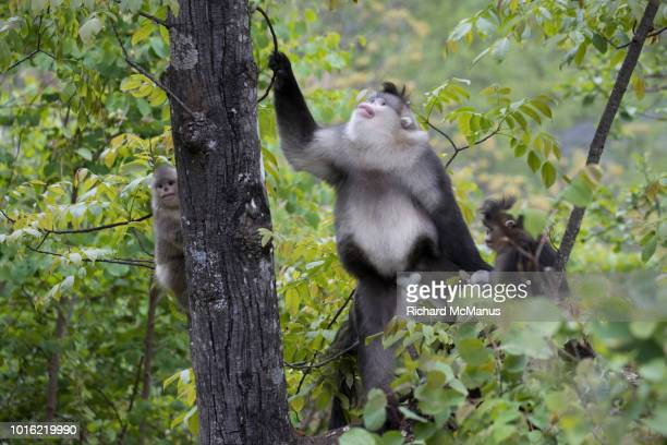 black snub-nosed monkeys - yunnan snub nosed monkey stock pictures, royalty-free photos & images