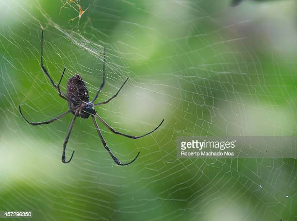 Black spider in its spider web in the Cuban countryside