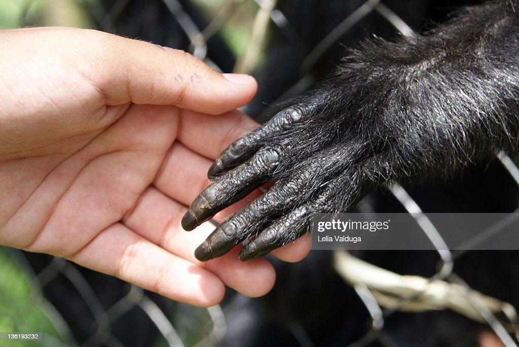 Black spider monkey hand on man hand : Stock Photo