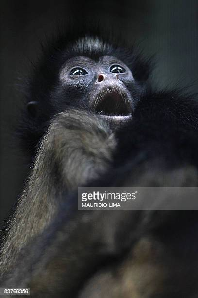 A 'Black Spider monkey' one of an endangered native species of Amazonian fauna lies at a natural reserve certified by the Brazilian Institute for the...