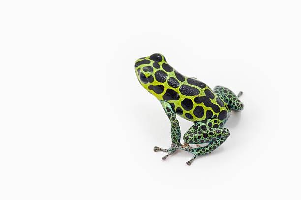 Black Spotted Green Poison Dart Frog (Ranitomeya Imitator)