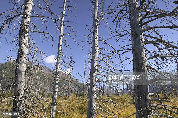 Black Spruce trees killed by the Spruce Bark Beetle near Portage glacier Alaska The rise in temperature caused by Global Warming has allowed the...