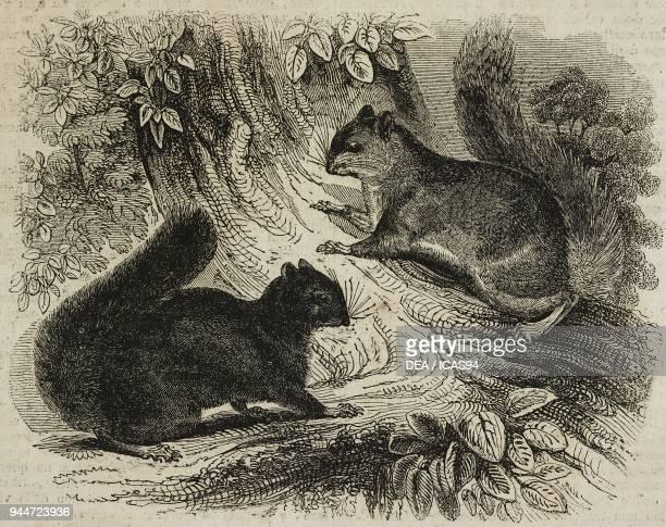 Black squirrel and eastern grey squirrel illustration from Teatro universale Raccolta enciclopedica e scenografica No 196 April 7 1838