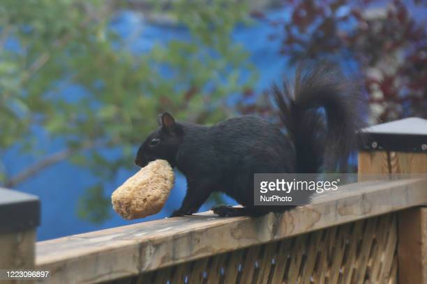 Black squirrel carries a large bun of bread in its mouth as the Summer season arrives in Toronto, Ontario, Canada, on June 24, 2020.