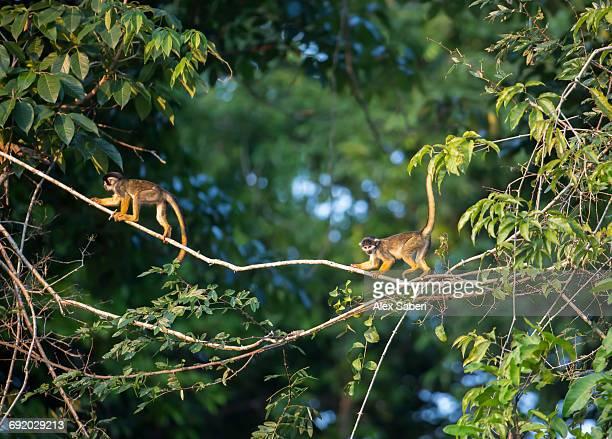 black squirrel monkeys, saimiri vanzolinii on top of tree in mamiraua sustainable development reserve. - alex saberi stock pictures, royalty-free photos & images