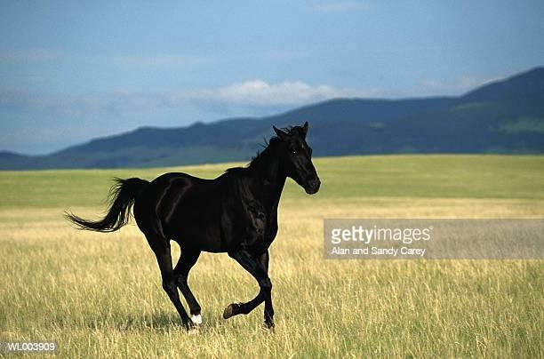 Black stallion running in meadow