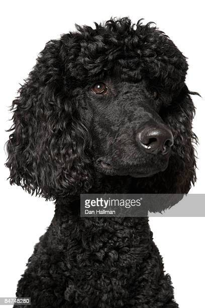 black standard poodle puppy - photo #26