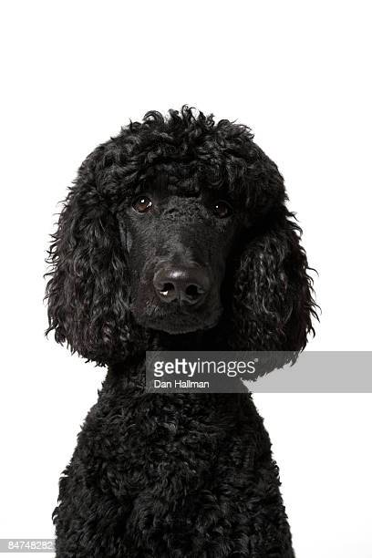 black standard poodle - standard poodle stock photos and pictures