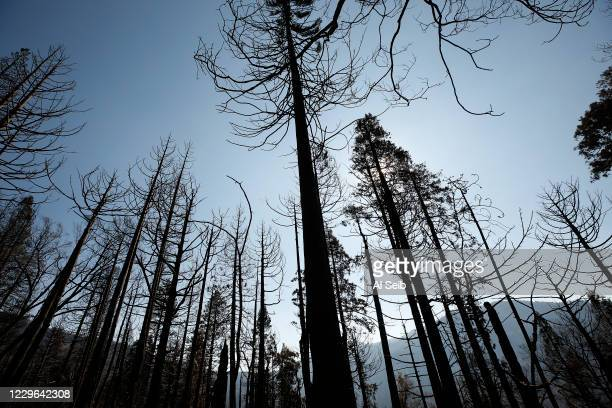 Black sticks, the ruins of 50- to 70-year-old conifers that George Powell, Sequoia National Forest ecosystem manager guessed had grown in after an...