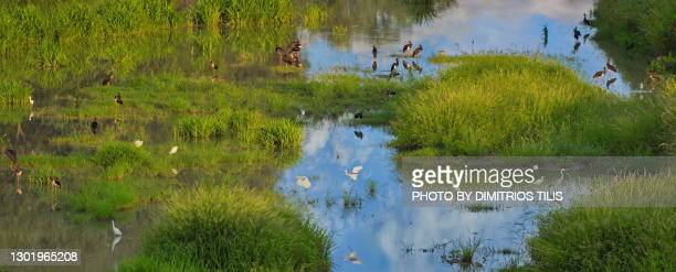30 black storks at pinios river - dimitrios tilis stock pictures, royalty-free photos & images
