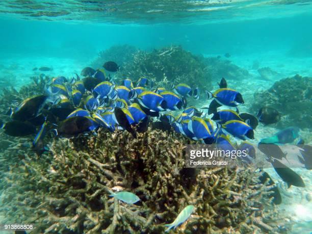 Black Surgeonfish and  Powderblue Surgeonfish or Blue Tang Fish (Acanthurus Leucosternon)