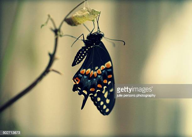 black swallowtail butterfly after hatching - hatching stock photos and pictures
