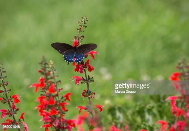 black swallowtail butterfly and red flowers - farfalla a coda di rondine foto e immagini stock