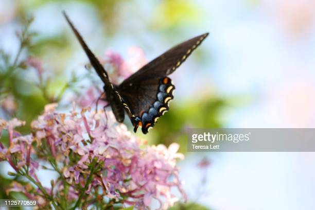 black swallowtail butterfly on spring flowers - purple lilac stock pictures, royalty-free photos & images