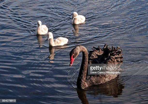Black swan and her cygnets.