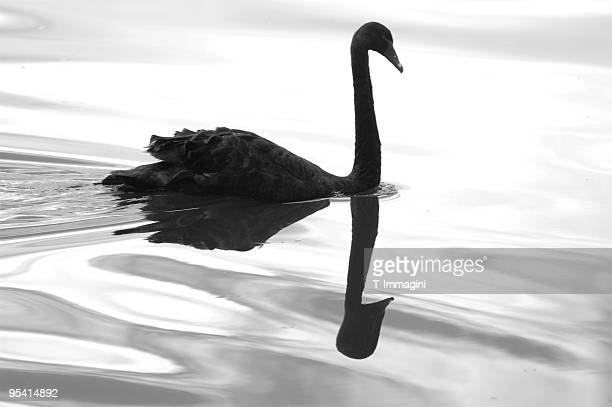Black swan and its reflection swimming on the lake