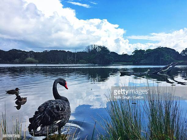 Black Swan At Lake Against Sky