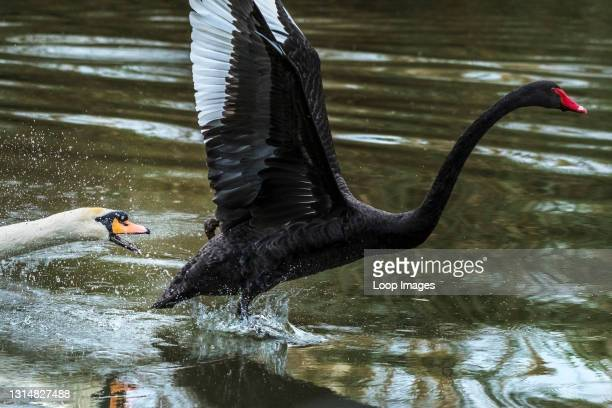 Black Swan Cygnus atratus being attacked by a Mute Swan Cygnus olor defending its territory on a lake in Newquay in Cornwall.