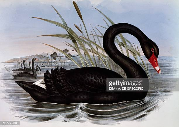 Black Swan engraving from the Birds of Australia by John Gould volume VII Table 5 United Kingdom 19th century