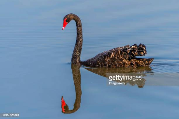 Black swan in a river with reflection, Australia