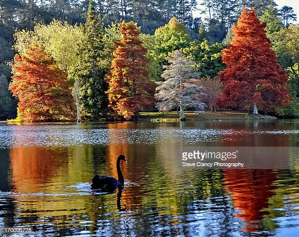Black swan in Autumn