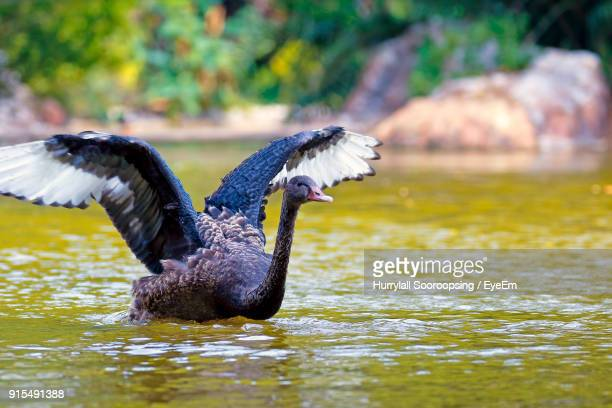 Black Swan In Lake